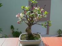 Macieira na Primavera